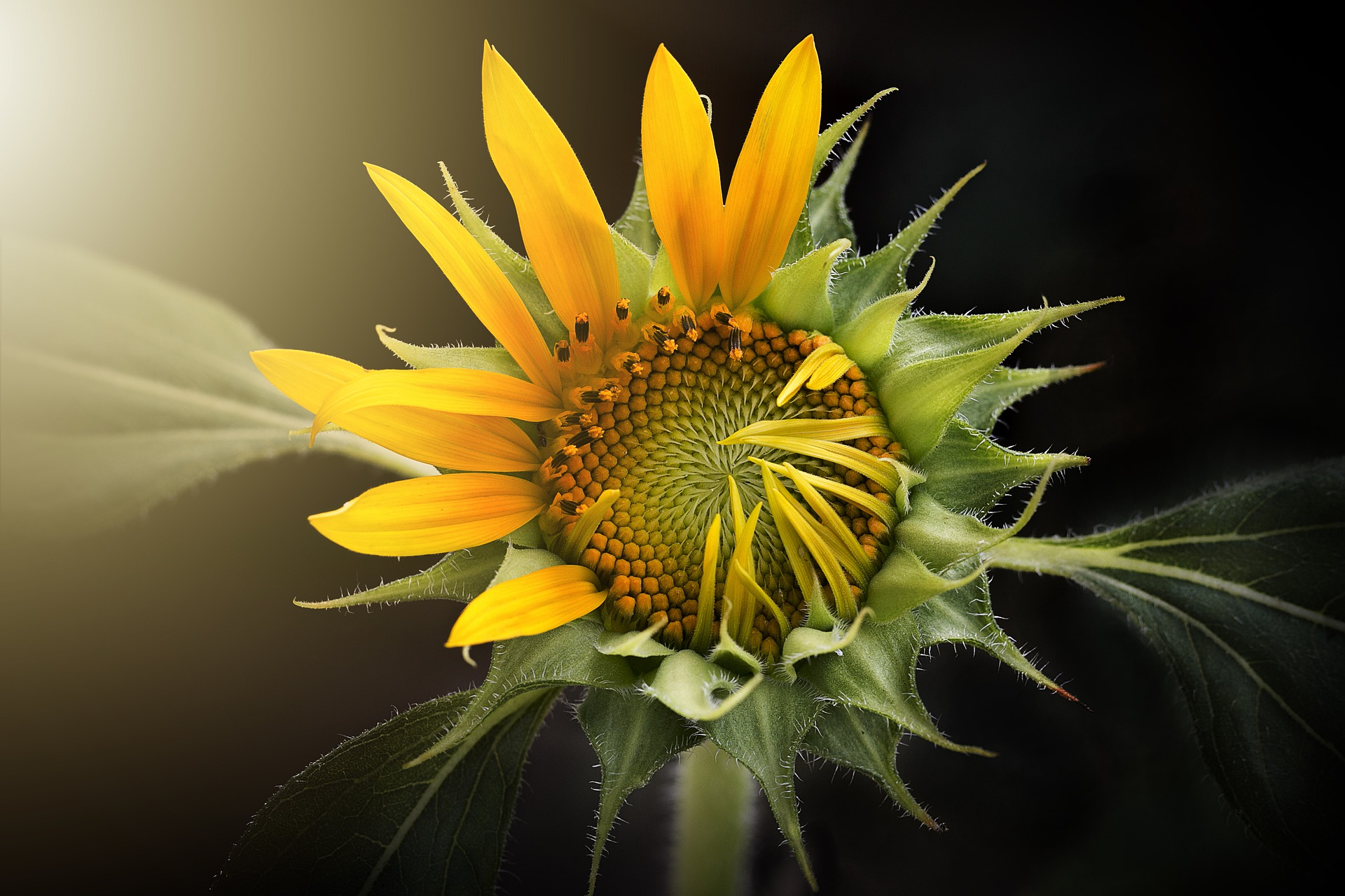 sunflower-3113318_1920