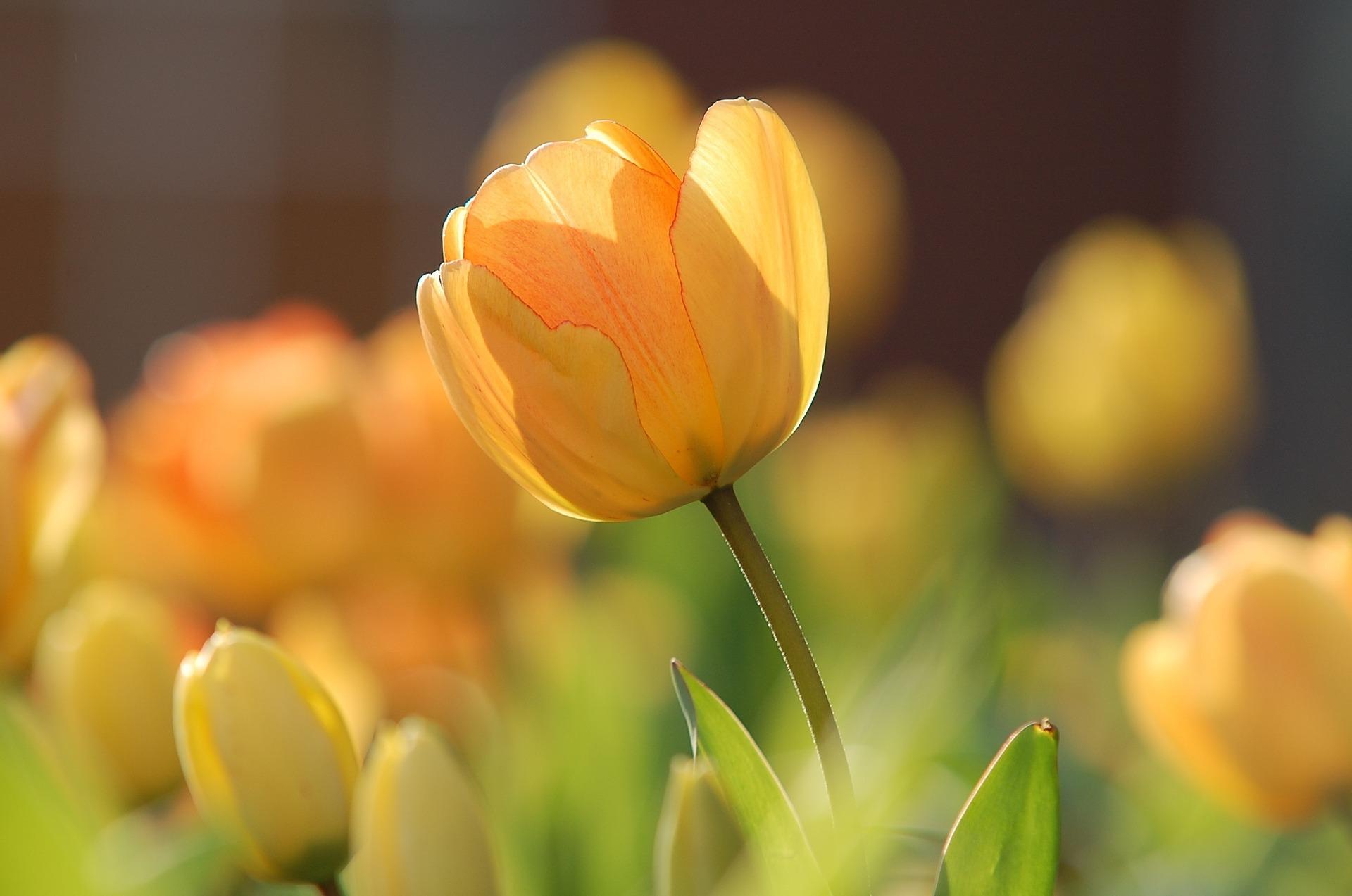 tulip-bg